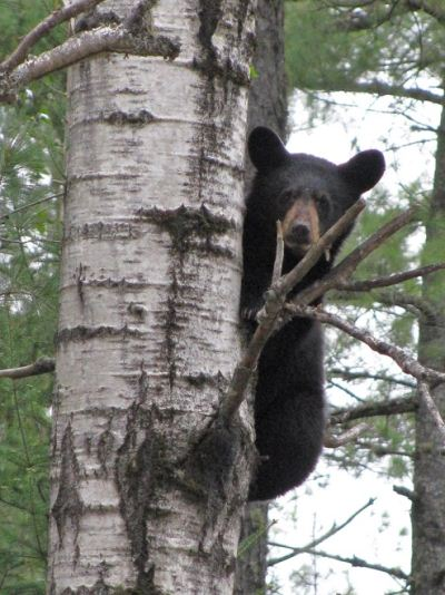 Black Bears are a common sight along the Appalachian Trail