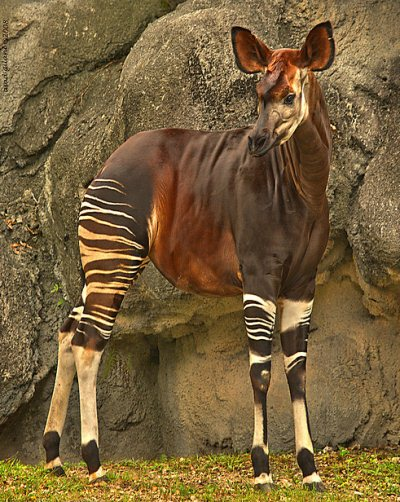 7 - Okapi - Top 10 Cryptids