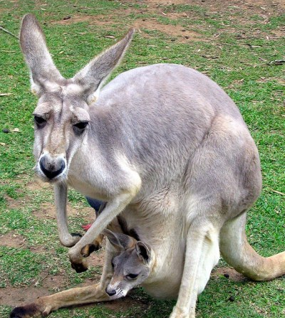 6 - Kangaroo - Top 10 Cryptids