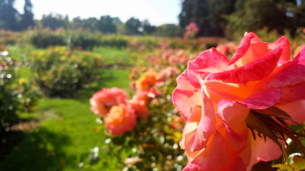 San Jose's Municipal Rose Garden is a great place to go for a date. Why buy a dozen, when you can see a thousand?