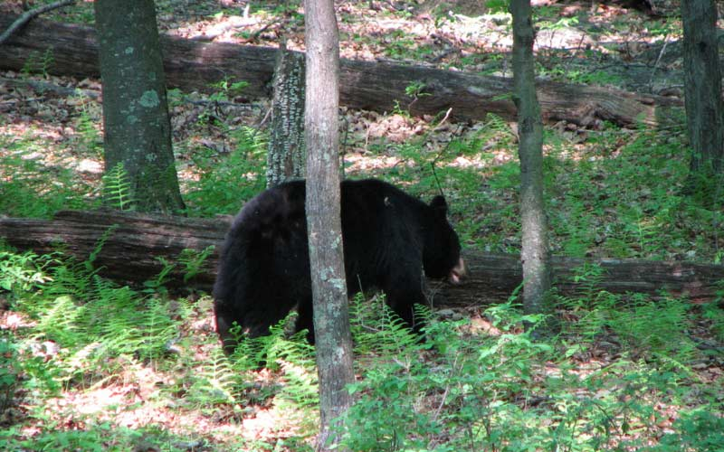 Be careful for American Black Bears, and make sure you learn proper bear protocol and you'll be just fine.