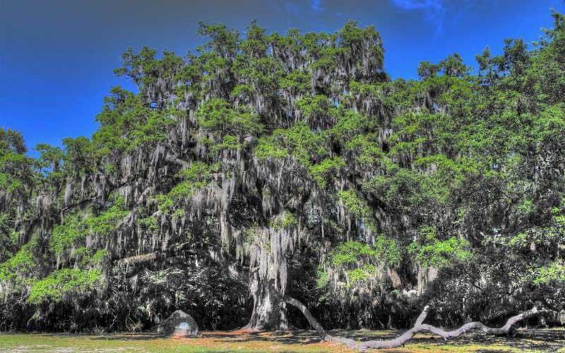 Fairchild Oak in Ormond Beach's, Bulow Creek State Park, Florida